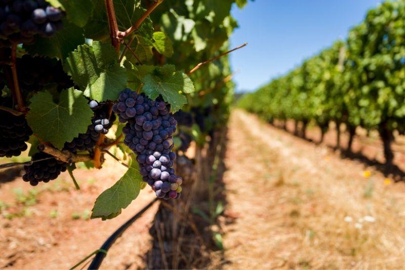 willamette valley pinot noir vines