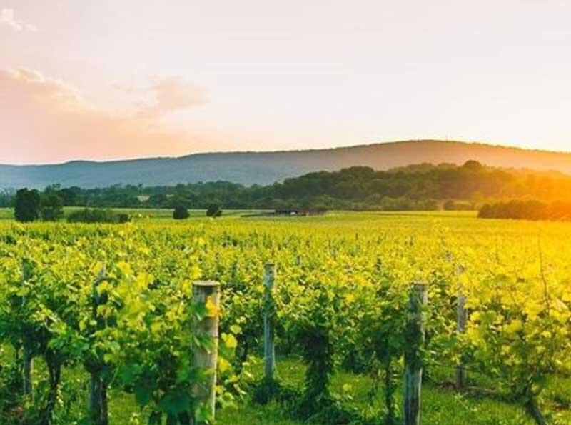 Northern Virginia vineyard