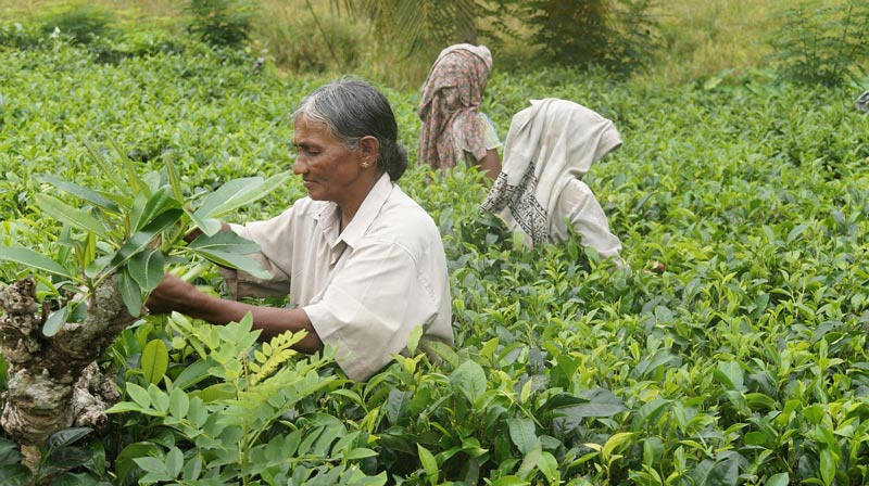 Sri Lanka tea farmers