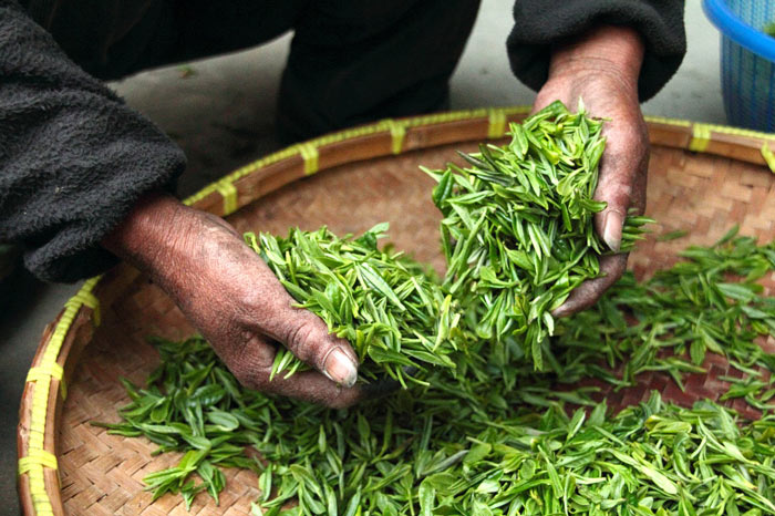 Tea leaves just after being harvested