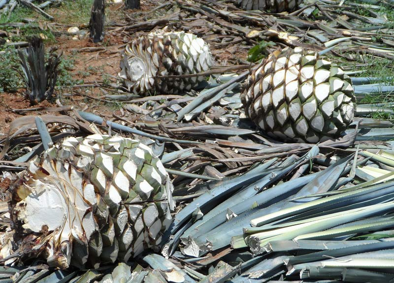 Agave plants used to make mezcal