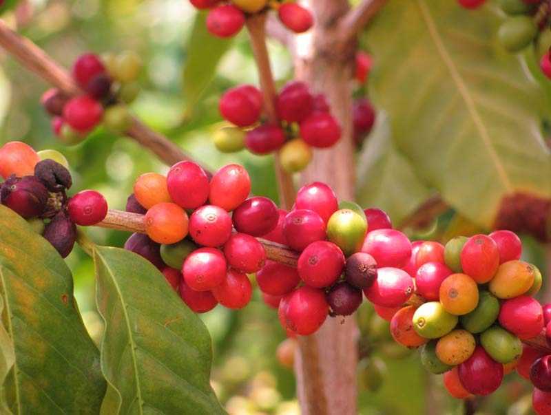 Kona coffee berries